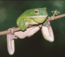 Native wildlife - Frog