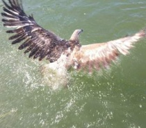 MULGRAVE RIVER WITH THE SEA EAGLE