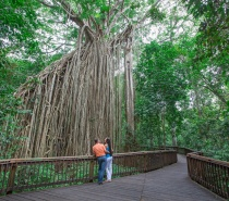 Visit the 500-year-old Curtain Fig Tree