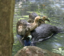 Male Cassowary & Chicks Emmagen Creek Swimming