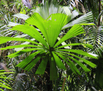 Giant Fan Palm