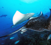 Bull ray on the Yongala Wreck