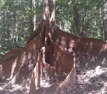 Buttress Roots in Cairns Rainforest