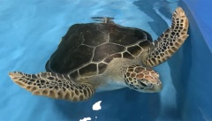 Cairns Aquarium turtle rehabilitation facility