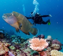 You will probably spot some 'Nemos', shy sharks, the friendly Maori Wrasse called Wally